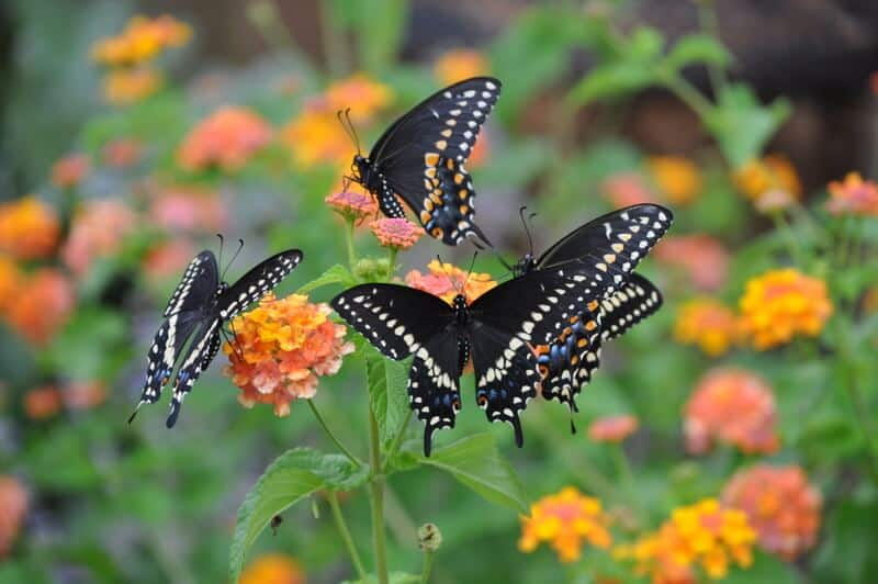 attracting-butterflies-to-your-garden