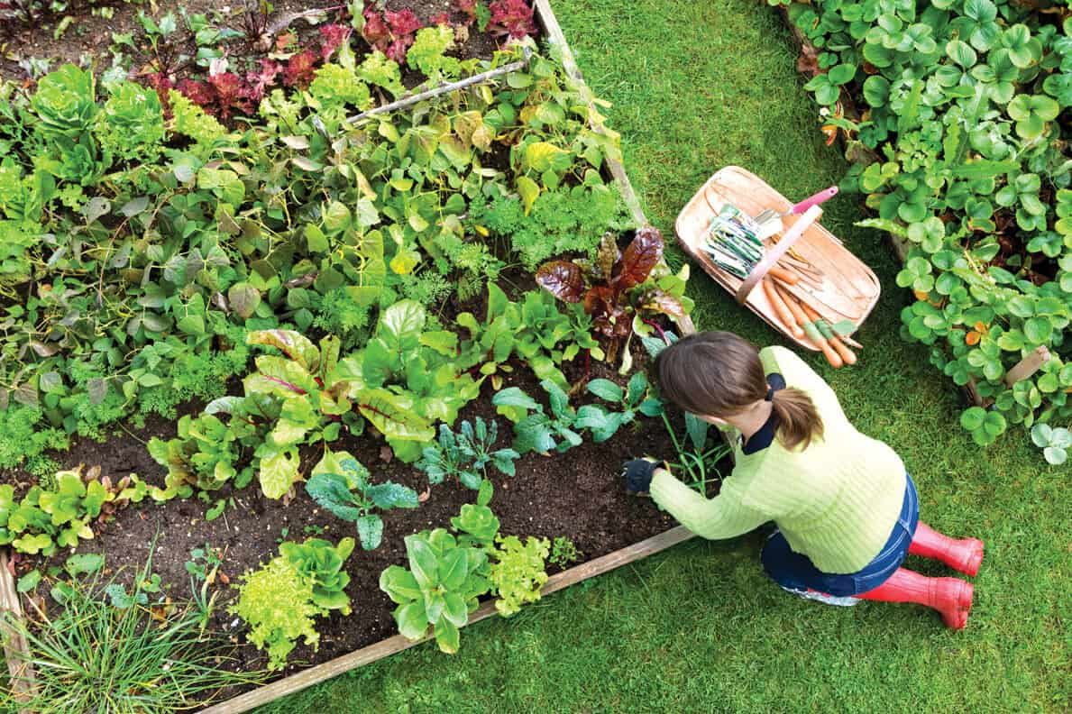 vegetable-gardening-for-the-beginner