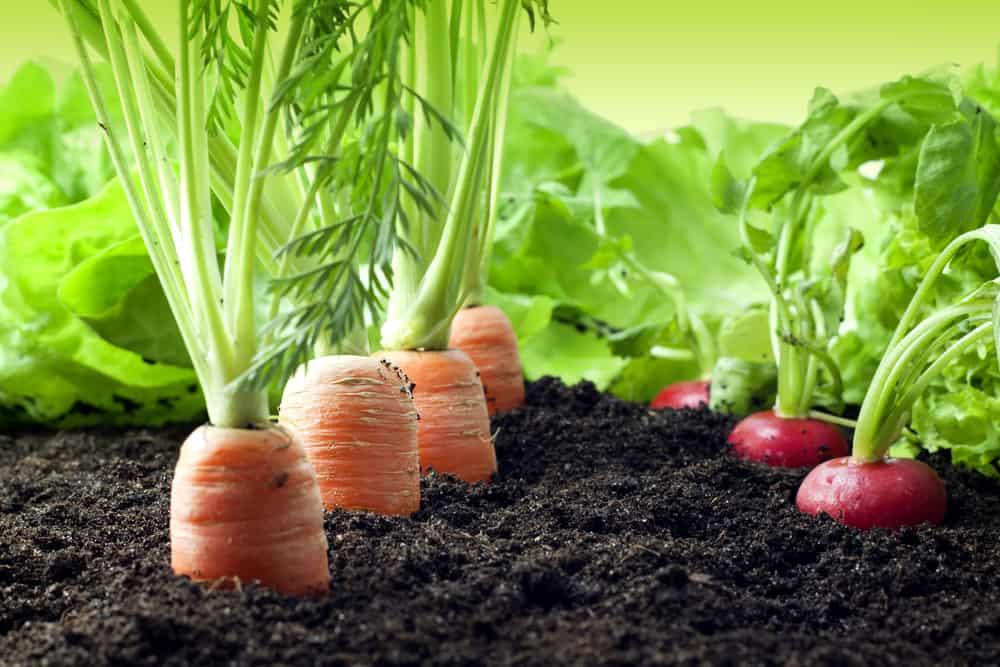 organic vegetables growing in a backyard